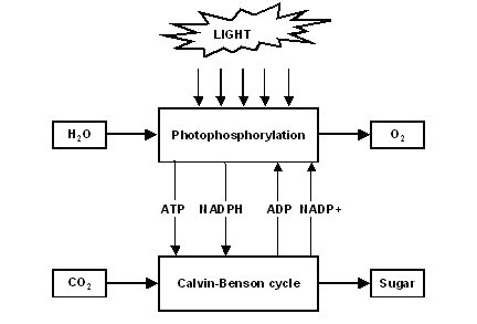 Photosynthesis the second law of life dinucleotide ccuart Choice Image